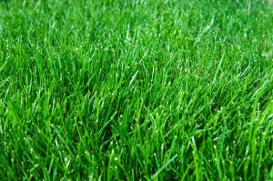 kentucky blue grass lawn
