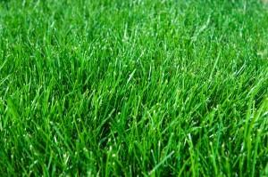 kentucky blue grass lawn