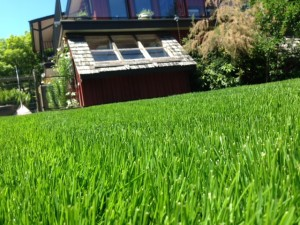 5 weeks later the lawn came in great!
